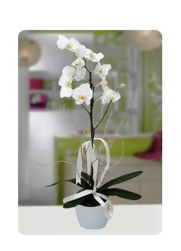 Seramik Vazoda Beyaz Orkide