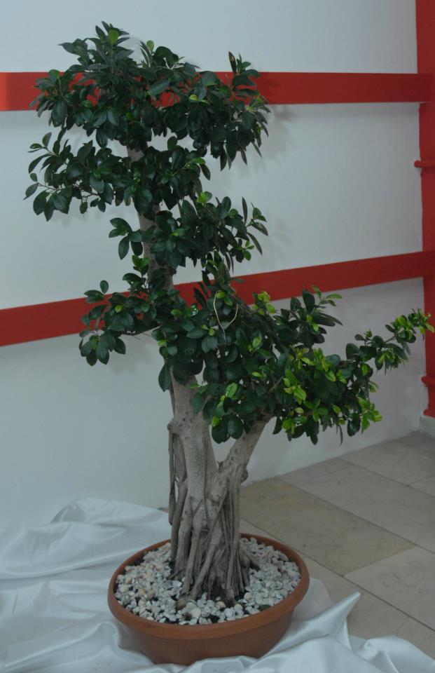 Canlý Bonsai